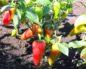 Посадка сладкого перца или как вырастить культуру в открытом грунте?