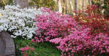 Рододендрон – посадка и уход за красивым кустарником в саду