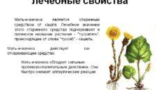 Мать и мачеха – лечебные свойства растения и применение в медицине