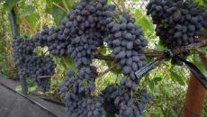 Сорт винограда Кодрянка – особенности, выращивание и уход