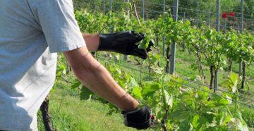 Уход за виноградом весной – пора на огород!