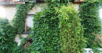 Вьющиеся декоративные растения – для красоты и пользы!