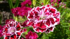 Пышная гвоздика – выращивание нежного цветка из семян