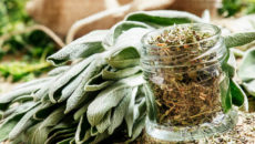 Сбор и сушка шалфея – как сохранить аромат и лечебные свойства?