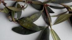 Болезни рододендронов и их лечение – как дачник становится садовым врачом?