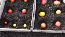 Посадка помидоров на зиму – учимся у природы!