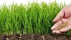 Горчица как зеленое удобрение осенью – возвращаем в землю минералы
