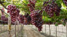 Сорт винограда Подарок Несветая – насколько он устойчив?