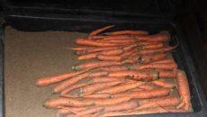 Как хранить морковь в подполе – свежие овощи до самой весны!