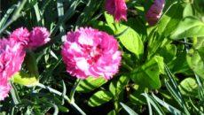 Многолетняя гвоздика – яркие краски на долгие годы