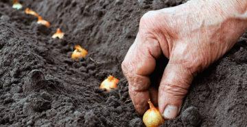 Когда сажать лук под зиму – как определить благоприятный момент?