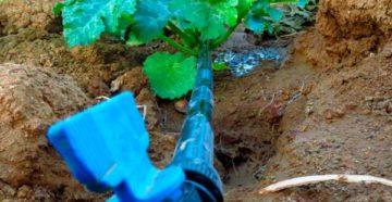 Как часто поливать кабачки – не перегибаем палку!