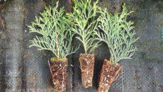 Размножение хвойных растений черенками – все основные аспекты
