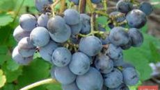 Сверхранние сорта винограда – выращиваем ягоду в северных широтах