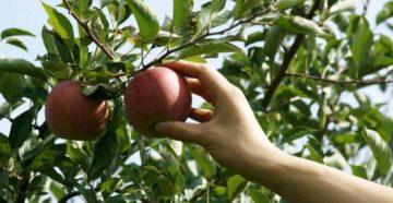 Когда собирать яблоки на хранение – узнаем по внешним признакам и описаниям сортов