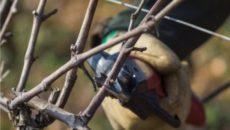 Обрезка винограда – краткое пособие для новичка