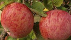Яблоки Штрейфлинг – отечественный сорт родом из Прибалтики