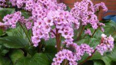 Бадан ? посадка, выращивание и уход за цветком в открытом грунте