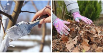 Подготовка сливы к зиме – выращиваем экзотические сорта!