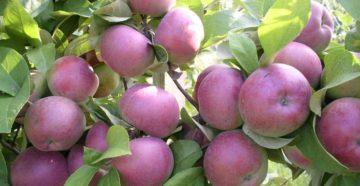 Яблоки сорта Спартан – как обеспечить развитие дерева?