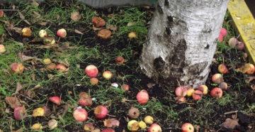 Опавшие яблоки как удобрение – фруктовая подкормка