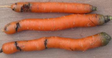 Болезни моркови – как распознать опасность и уметь ее предотвратить?
