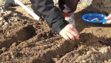 Посадка моркови весной – выращиваем отличный урожай!