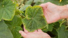 Болезни огурцов и их лечение – как защитить огород от заболеваний?