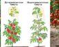 Детерминантный сорт помидор – что это за вид и каковы свойства этих томатов