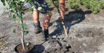 Как посадить саженец яблони – садоводу на заметку