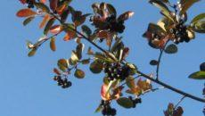 Когда собирать черноплодную рябину, и как ее сохранить?