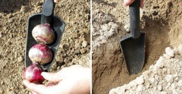 Посадка гиацинтов весной – правила высадки в открытый грунт!