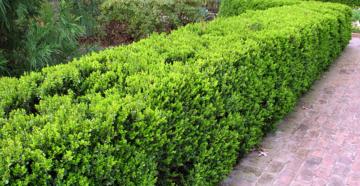 Быстрорастущие кустарники для живой изгороди – зеленый забор за три года