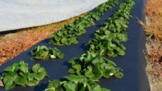 Особенности посадки клубники под черную пленку
