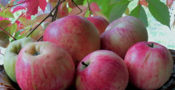 Сорт яблок Штрифель – как вырастить и сохранить?