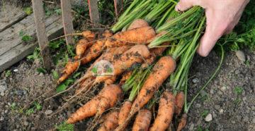 Когда собирать морковь – общие рекомендации