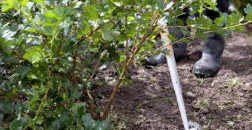 Подкормка крыжовника осенью – подготовительные садовые работы