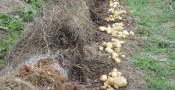 Посадка картофеля под солому или сено – урожай без труда