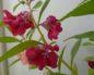 Бальзамин карликовый