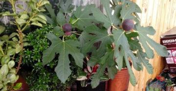 Особенности растения инжир выращивание и уход